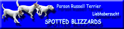 Spotted Blizzards Parson Russell Terrier